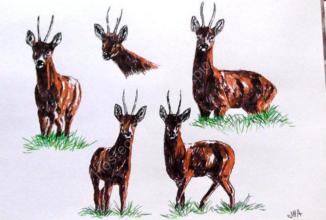 roe deer sketches