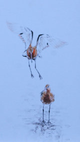 black tail godwits