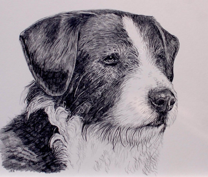 collie sketch SOLD