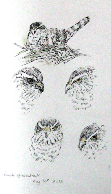 female sparrowhawk sketches