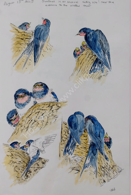 swallow sketches