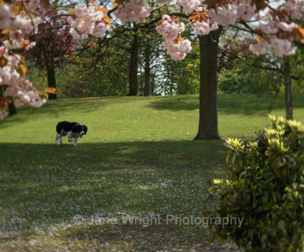 Dog in blossom
