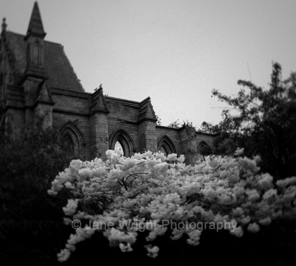 White blossom beside an abandoned church
