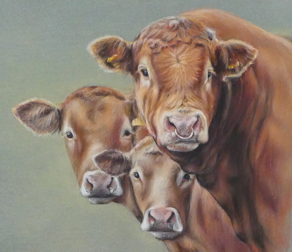 Limousin bull and offspring