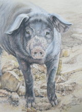 Inquisitive Pig