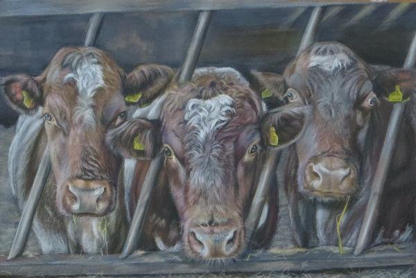 Trio of Shorthorn calves