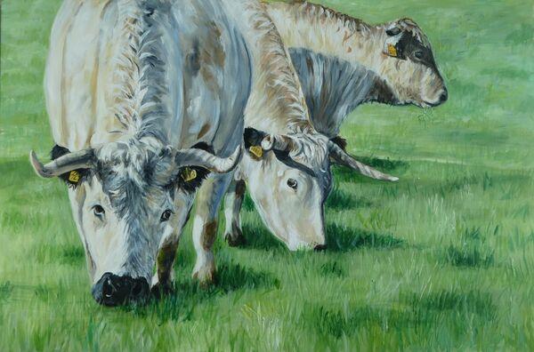 Grazing  White park Cattle