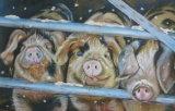Snowy pigs