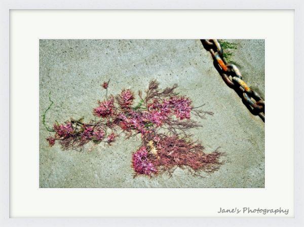 Pink Seaweed (White)