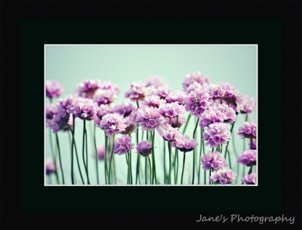 Sea Thrift Green (Black)