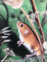 Little Field Mouse