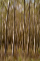 Silver Birch Wood 4, Tuscany