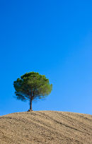 Solitary Tree, Tuscany