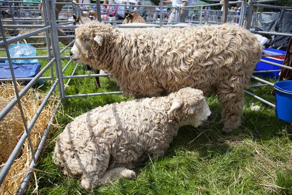 Curly wurly sheep