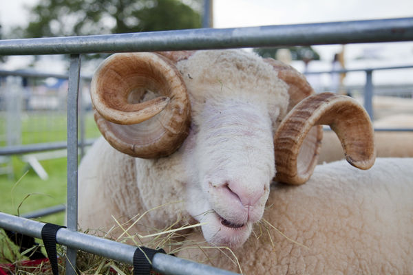 Curly wurly horned sheep