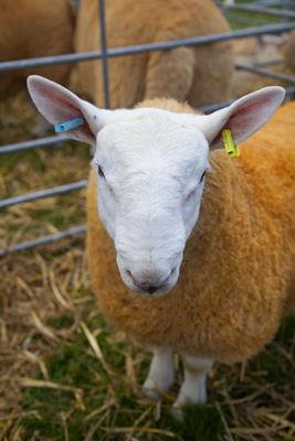 Orange sheep!