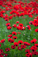 Summer at Inverewe Gardens - Ladybird Poppies