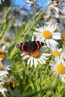 Red Admiral on Leucanthemella serotina - 15 October 2011 - Yorkshire
