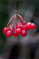 Berries of Guelder Rose