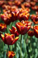 Tulipa 'Abu Hassan'