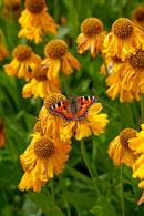 Helenium 'Pumilum Magnificum' and Tortoiseshell butterfly