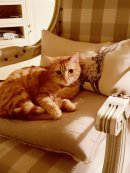 Afternoon Napwith Farmhouse Tabby Kitten Ambre