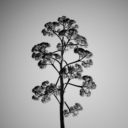 Agave Caymanensis