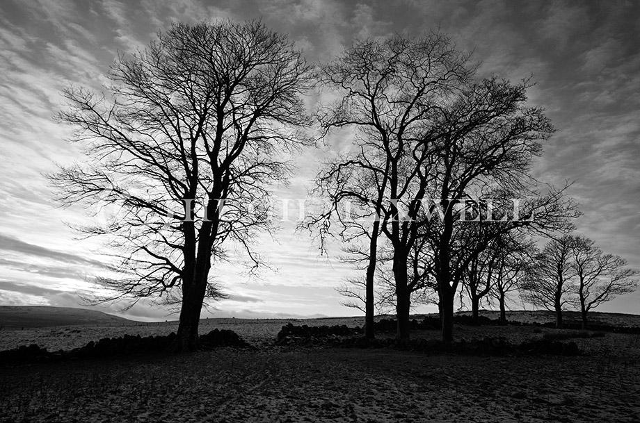 Cairnsaigh Trees
