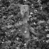 Fencepost and Brambles, Grantham Canal