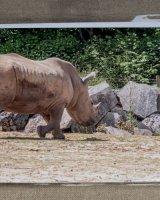 Rhino Walking