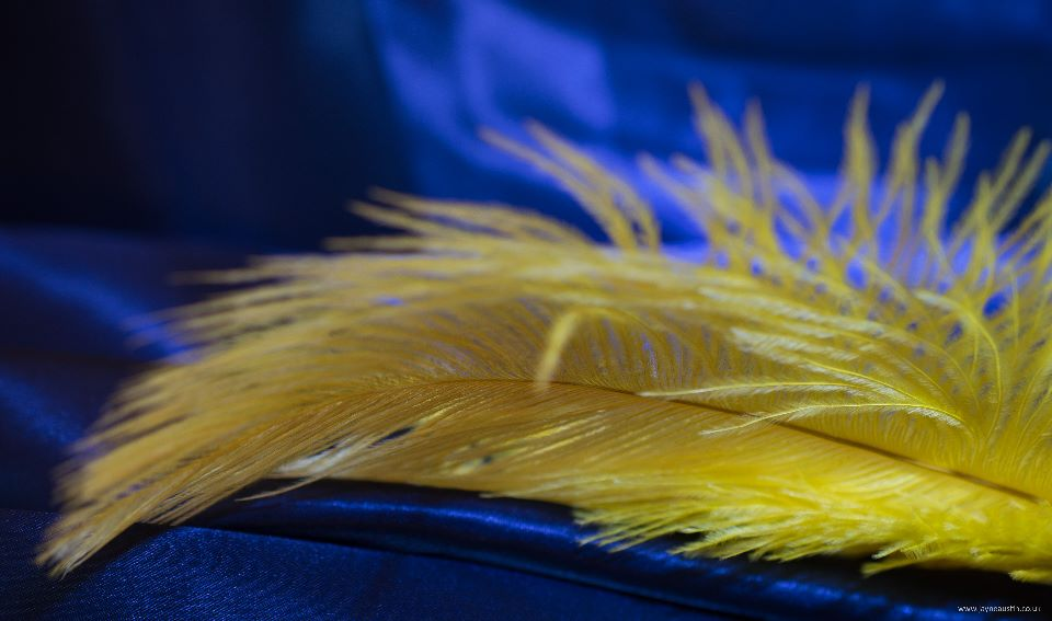 Yellow feather on blue satin