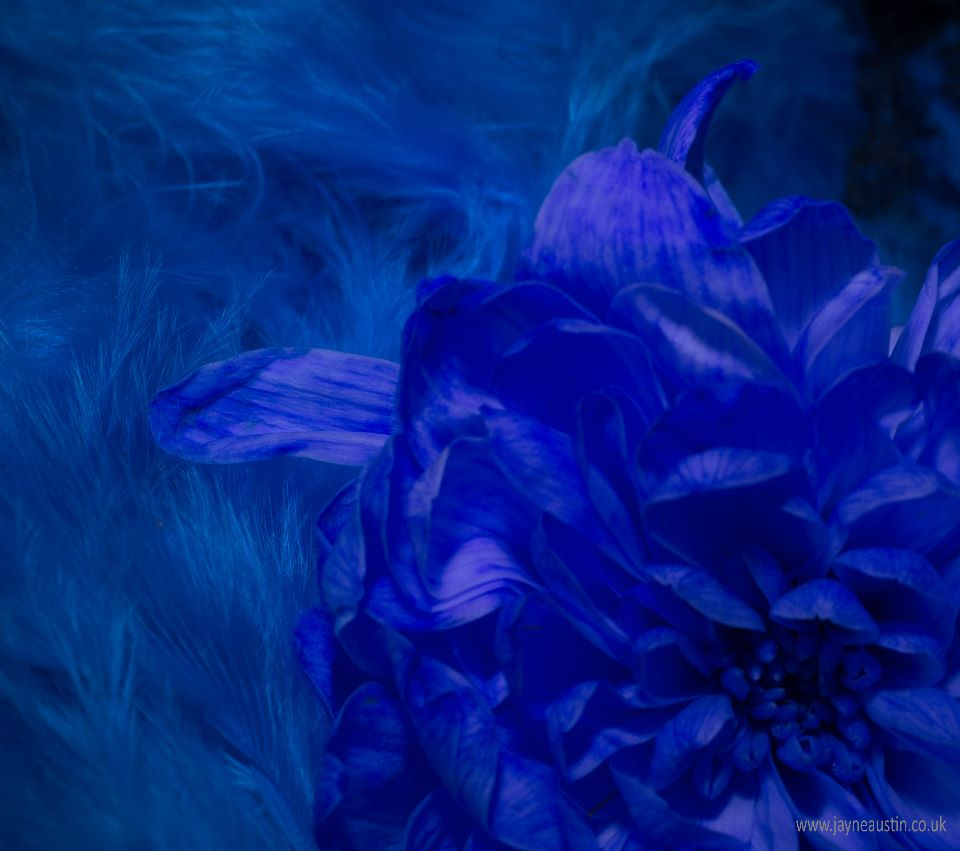 Blue Feather  - Chrysanthemum