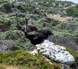 7. Wild Ostrich - Table Mountain National Park