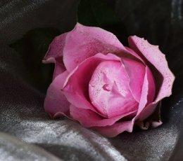 Pink rosebud on grey