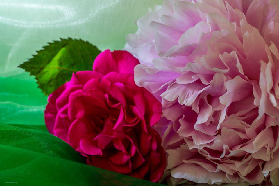 Pale Pink Peony - Pink Rose