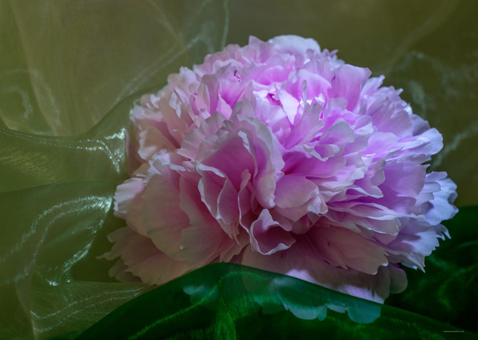 Pale Pink Peony on Green