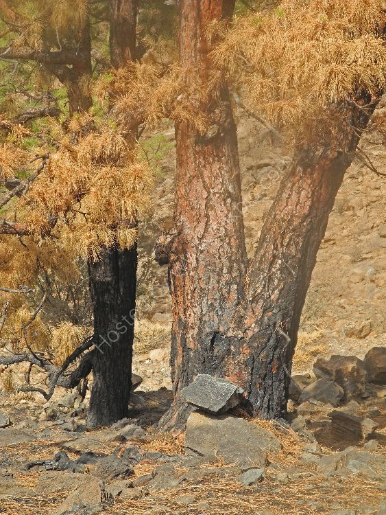 After the Forest Fire in Tenerife