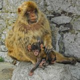 Barbery Apes Gibraltar