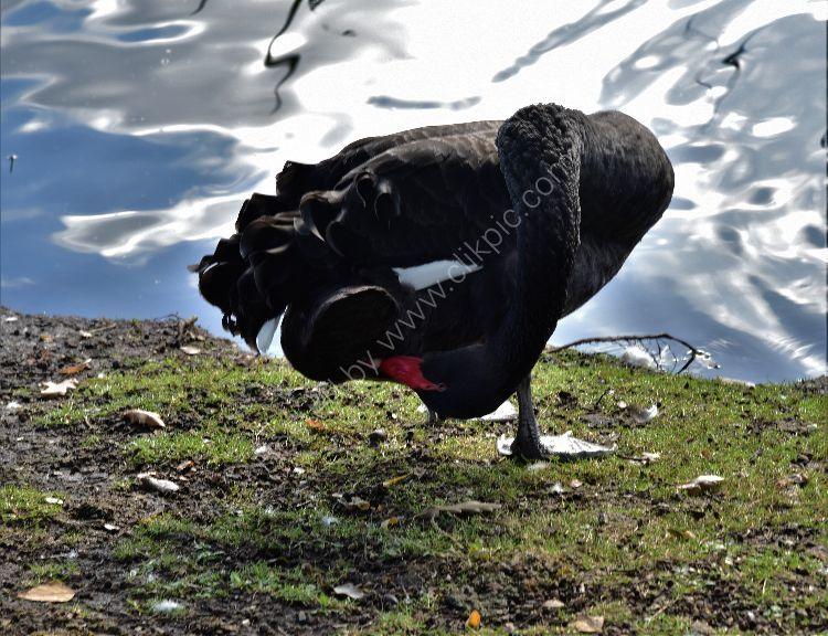 Black Swans in Regents Park