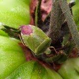 Green Tomato Stinkbug