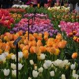 Keukenhof tulips Holland