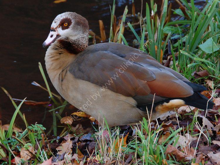 The Egyptian Goose