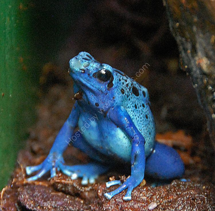 The Poisenous Blue Frog