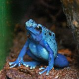 The Poisenous Blue Frog