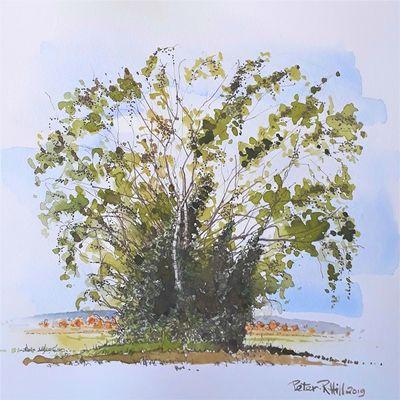 Birch Trees at Grange Farm, Scotterthorpe