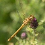 Dragonfly 6430 WR