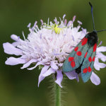Six-Spotted Burnet Moth with Crab Spider in Background