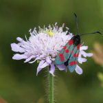 Six-spot Burnet Moth with Crab Spider in the Back Ground