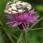 Marbled White with Trombidium Breei Parasitic Red Mites Attached