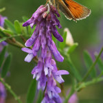Small Skipper on Tufted Vetch